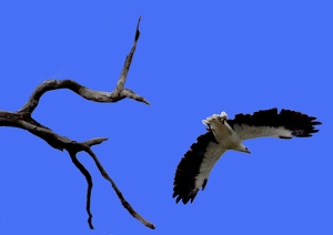 This Australian eagle entertained us with frequent overhead flights as well as landed in the tree with its mate.