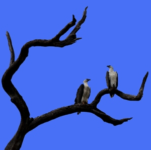 This pair of Australian eagles flew overhead and landed on this tree.