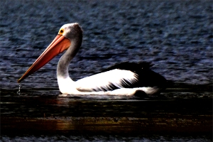 Australian Pelicans normally reside near saltwater. Lake St. Clair had a few of them feeding along the shoreline's edge.