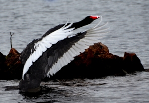 This Australian Swan was showing off for its mate.