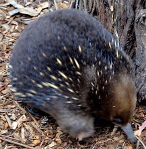 These little long nosed animals feed on bugs, grubs and worms. They have quills, much like a porcupine.