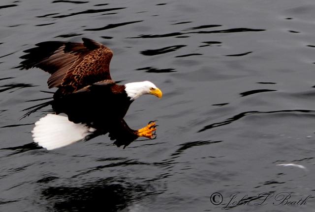Eagle4-sm